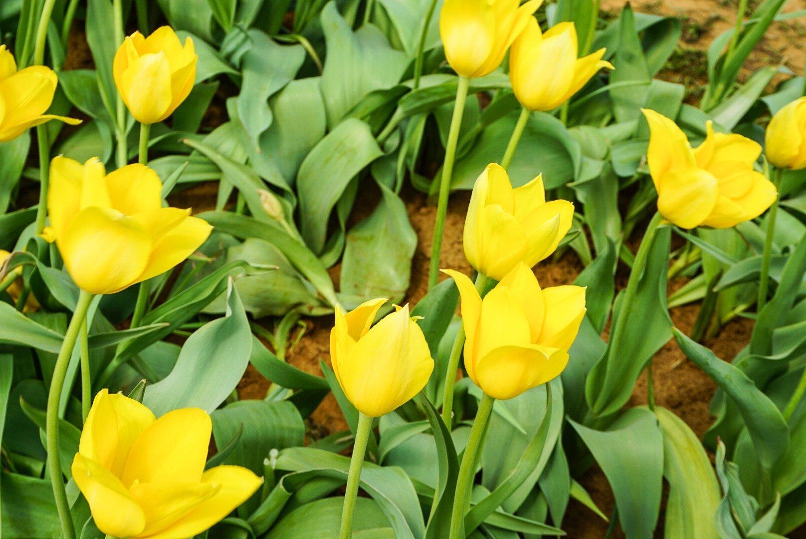 Texas Tulips - Simply Madisynn